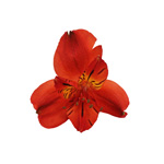 Bulk Alstromeria Red flower