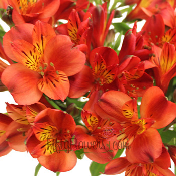 Burnt Red Fresh Peruvian Lilies