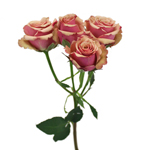 bulk bicolor white and pink spray roses