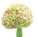 Bulk Hydrangea Giant Light Antiqued Flower