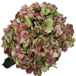 Antique Green Hydrangea Flower