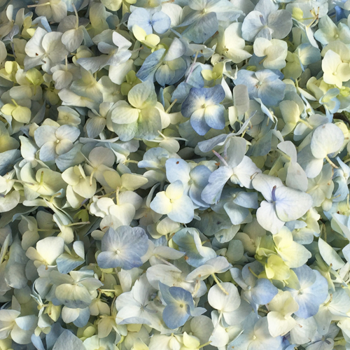 Antique Blue Fresh Hydrangea Flower Petals