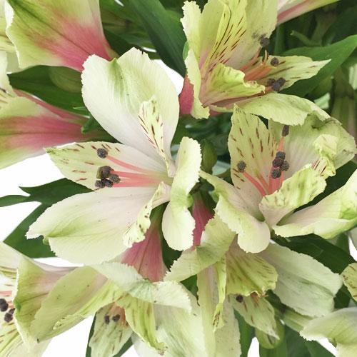 Antique Blush Alstroemeria Flower