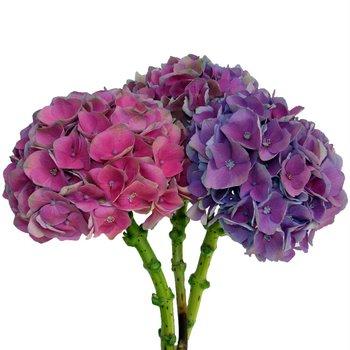 Antique Dutch Hydrangea Purple Pink Flower