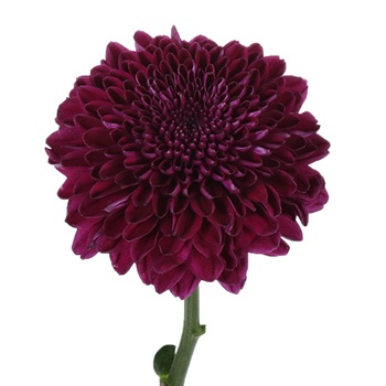 Good Night Bahlia Flower
