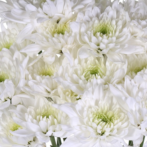 Kiss of Mint Dahlia Style Flower