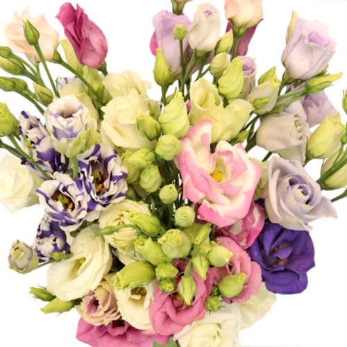 Assorted Mini Lisianthus Flower for June to September Delivery
