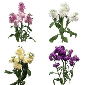 Spray Stock Assorted Flower