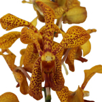 Fresh Cut Panee Yellow Mokara Orchids
