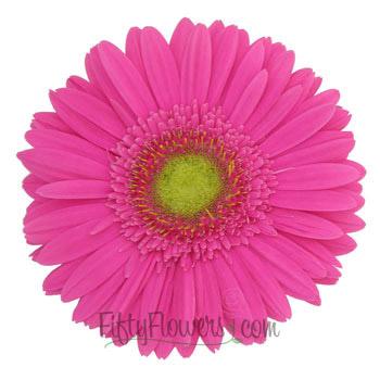 Hot Pink Gerbera Blooms