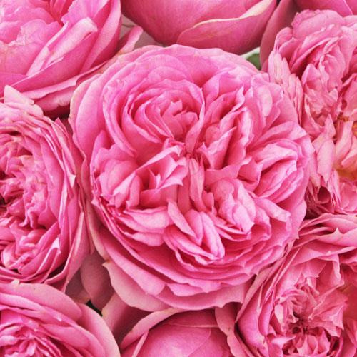 Double Bubble Pink Garden Rose