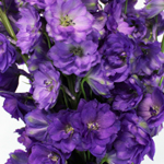 True_Blue_Delphinium_Flowers