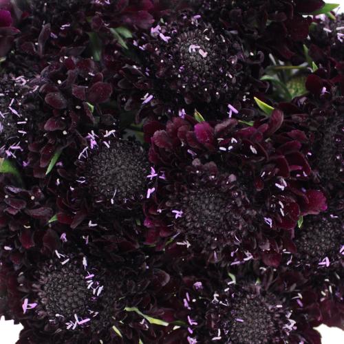 Blackberry Scabiosa Flower