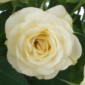 Beach Blonde Petite Spray Roses