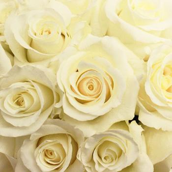 Blizzard White Rose
