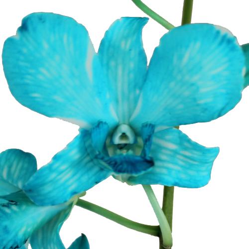 Blue Wholesale Dendrobium Orchid Lei