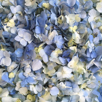 Fresh Hydrangea Petals Blue Bliss