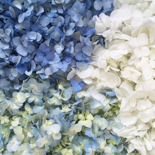 Fresh Hydrangea Petals Blue and White Mix