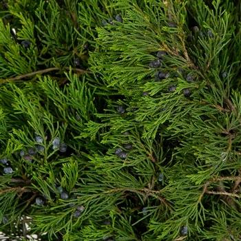 Blueberry Cedar Greenery