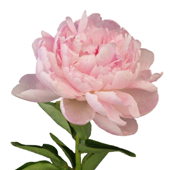 Light Pink Pecher Peony Flowers December Delivery
