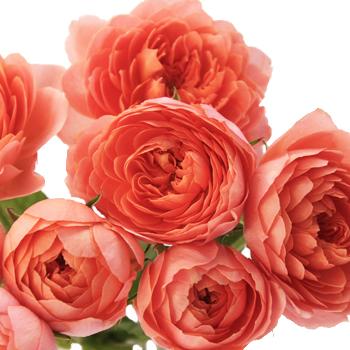 Jam Tart Sweetheart Garden Rose