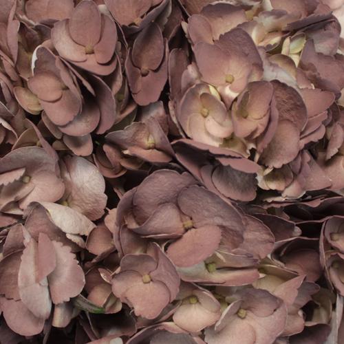 Dark Chocolate Airbrushed Hydrangea