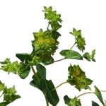 Bupleurum_Green_and_Yellow_Flower