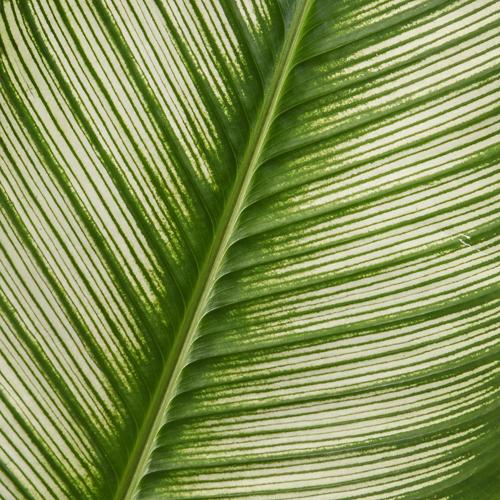 Calathea Leaves Tropical Greenery