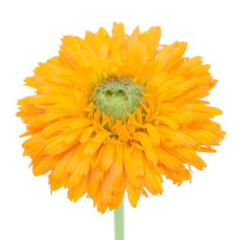 Calendula Pumpkin Orange Flower
