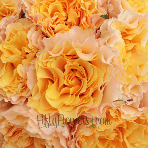 Garden Rose Cream Ruffles in the Sky