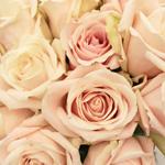 Creamy Pink Candy Bianca Rose