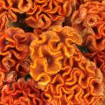 Celosia Orange and Dark Pink Flower
