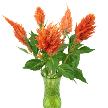 Orange Spark Feather Celosia