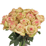 Fresh Cut Roses Bicolor Cream and Pink Cezanne