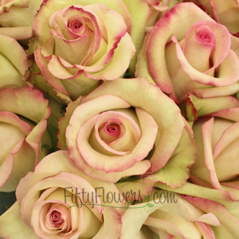 Cezanne Cream and Pink Dipped Rose