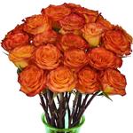 Bicolor Rose Circus