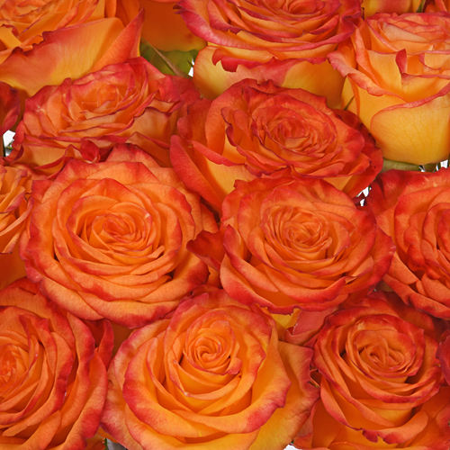 Circus Bicolor Yellow with Red Rose