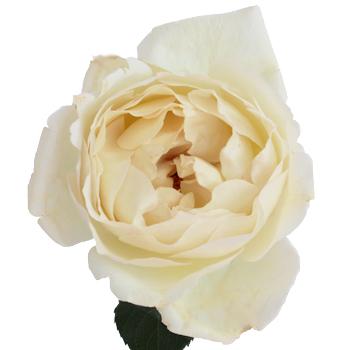 Creamy Ivory Peony Rose