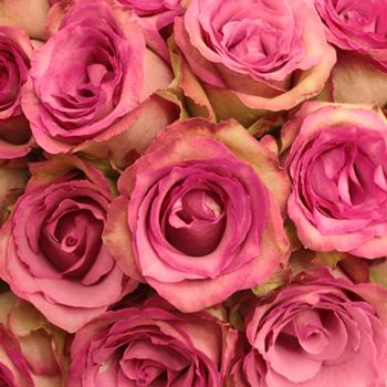 Classic Cezanne Antique Fuchsia Rose