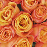 Peach Rose Aphrodite