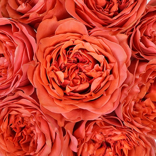 Dark Coral Garden Rose