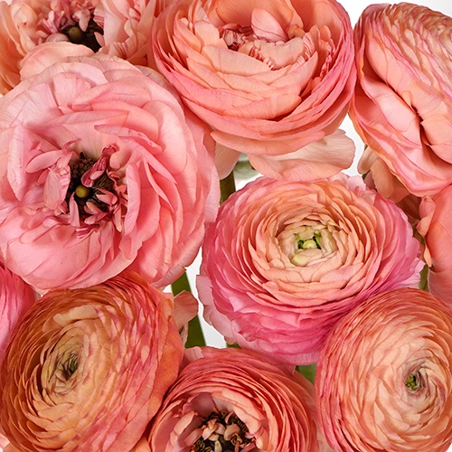Passion Fruit Punch Coral Italian Cloony Ranunculus