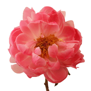Coral Peony Flower September Delivery