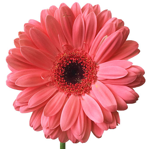 Coral Couture Gerber Daisy