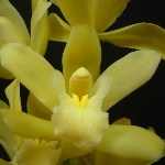 Orchids Mini Cymbidium White Flower