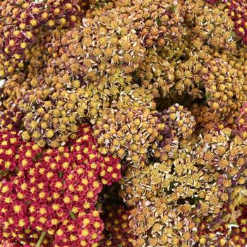 Burgundy Taupe Cottage Yarrow Flowers