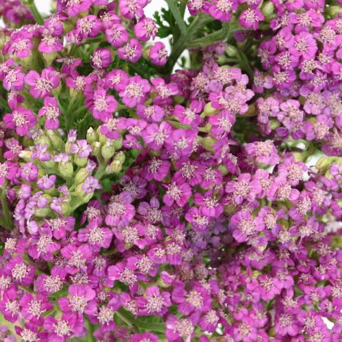 Yarrow Cottage Pink Flower