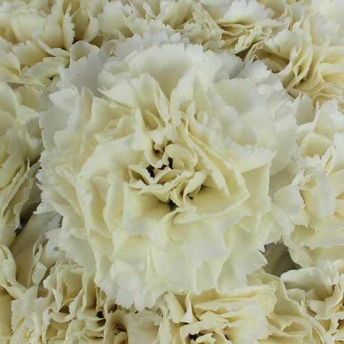 Cream Carnation Flowers