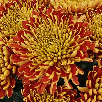 Fall Sunset Cremon Flower