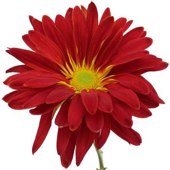 Red Rover Mum Flower